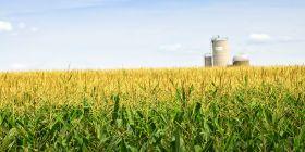 Kukuřice je druhá nejrozšířenější GM plodina. Používá se především jako krmivo, dováží se ze Severní a Jižní Ameriky. Plocha osázená kukuřicí se v ČR stále snižuje.