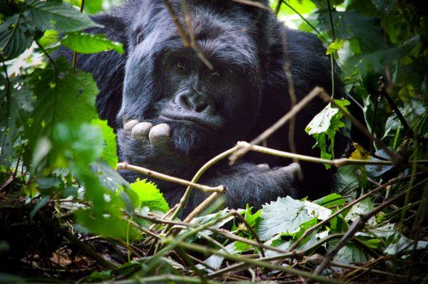 Horské gorily jsou středem zájmu současného projektu ve Rwandě.