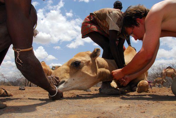 Odběry krve velbloudů pastevců kmene Samburu pro diagnostiku vztekliny avýzkum klíšťaty přenášených infekcí, Keňa.