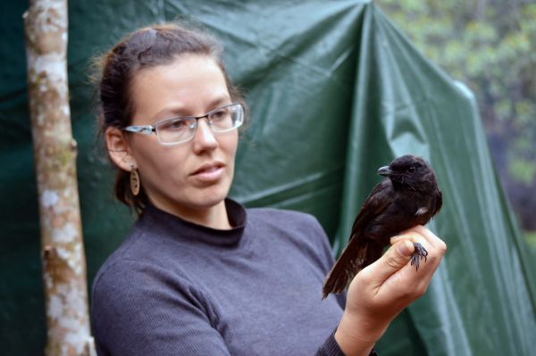 Kateřina Sam with an interesting catch, the relatively rare black pitohui – a bird with a tumultuous taxonomic history. Currently, it is classified in a separate monotypic genus Melanorectes, thanks in part to this particular specimen.